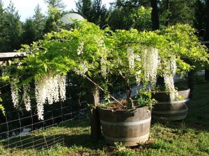 Wine Barrel Planter for Tree